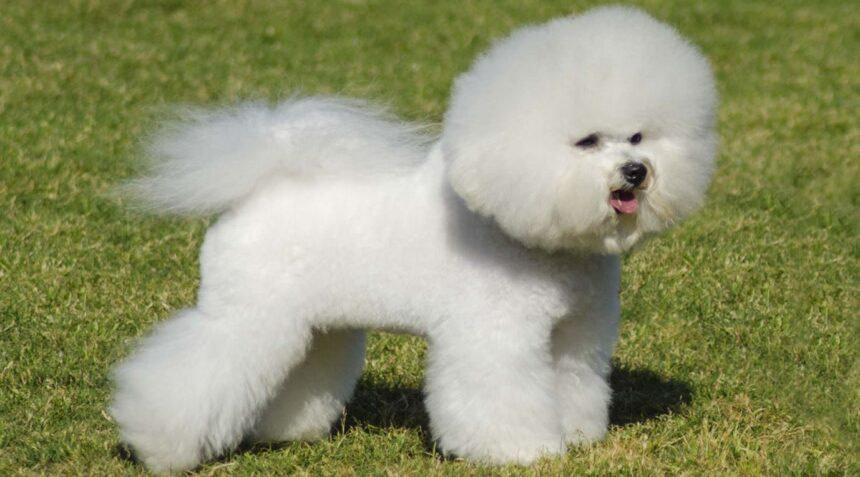 Best Small Dog Breeds-Bichon Frise Dog Breed