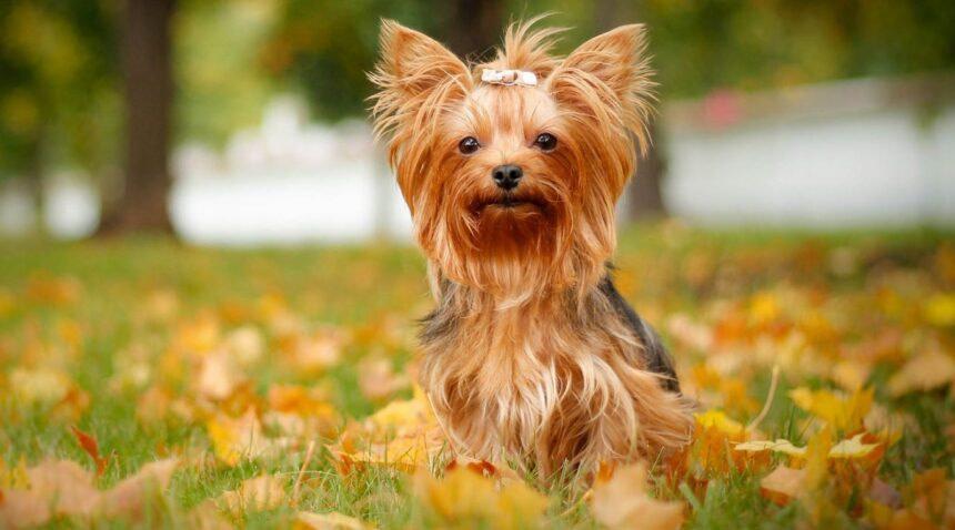 Best Small Dog Breeds-Australian Silky Terrier