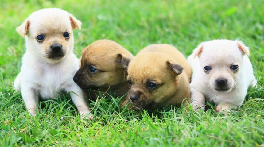 Best Small Dog Breeds-Chihuahua Dog Breed
