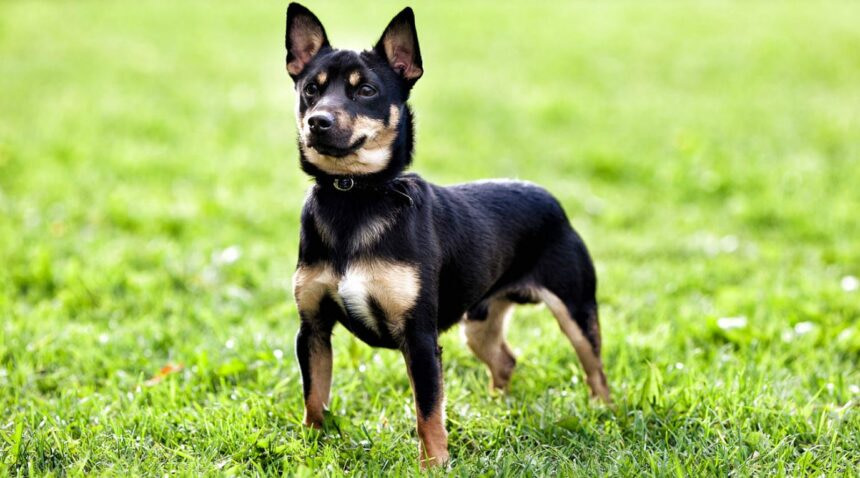 Best Small Dog Breeds-Jack Russell Terrier Dog Breed