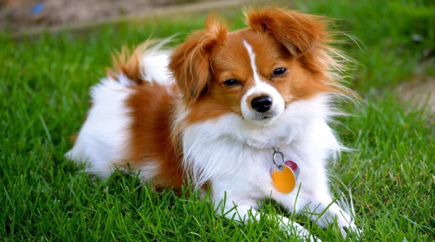 Best Small Dog Breeds-Papillon Dog Breed