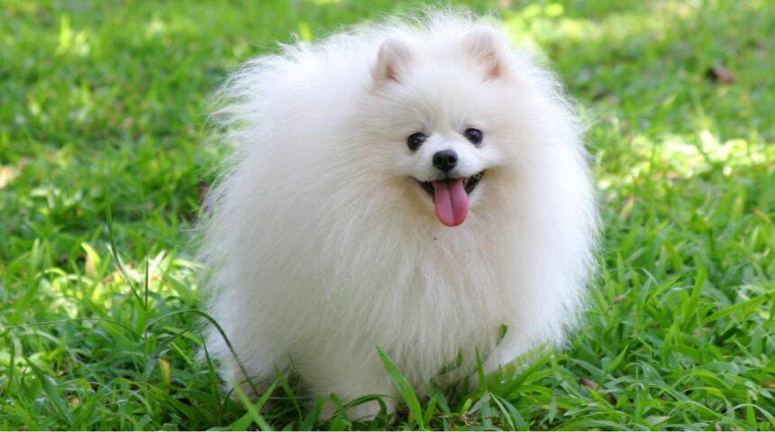 Best Small Dog Breeds-Pomerania