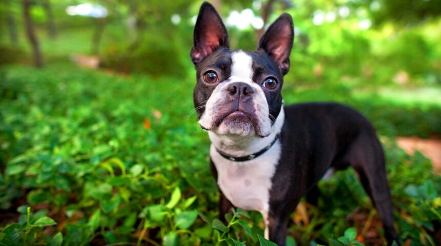 Best Small Dog Breeds-Boston Terrier Dog Breed