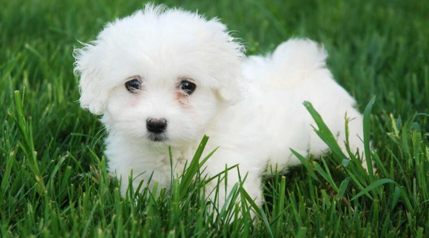 Best Small Dog Breeds-Caniche-Poodle Dog Breed