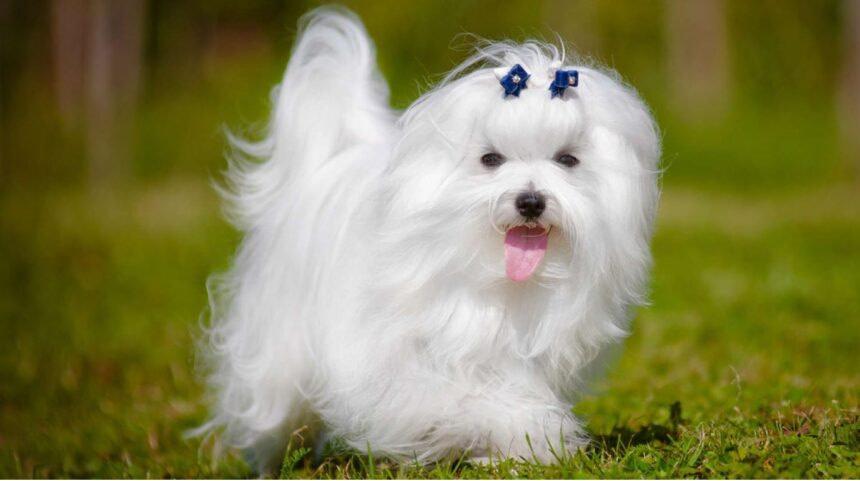 Best Small Dog Breeds-Maltese Bichon maltais
