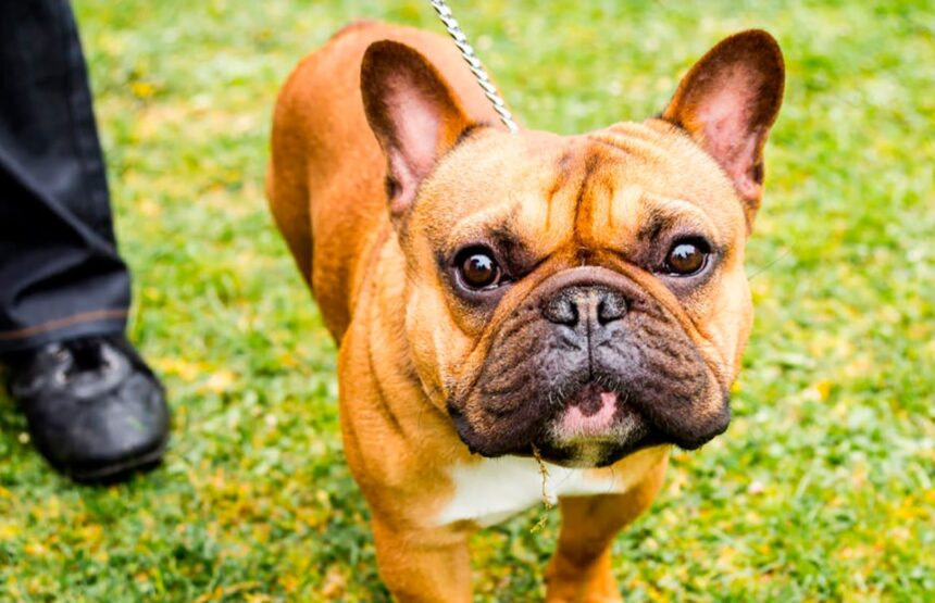 Best Small Dog Breeds-French Bulldog Dog Breed