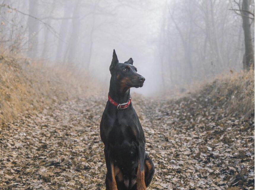Most Smartest Dog breeds- Doberman Pinscher Dog Breed