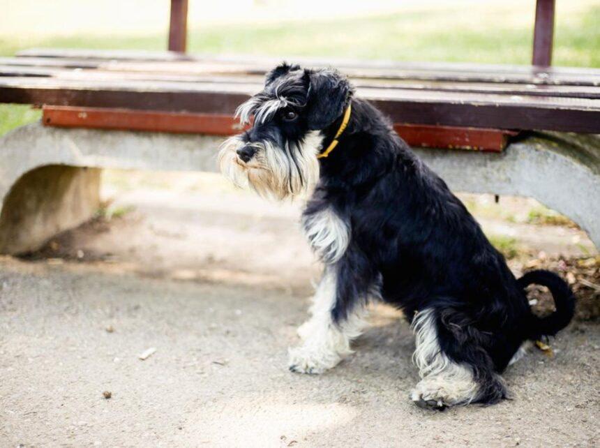 Most Smartest Dog breeds- Miniature Schnauzer Dog Breed
