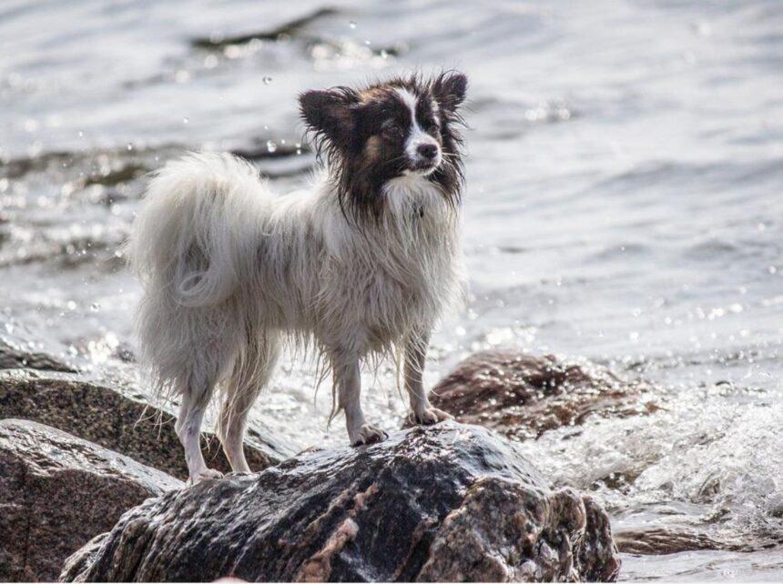 Most Smartest Dog breeds- Papillon Dog Breed