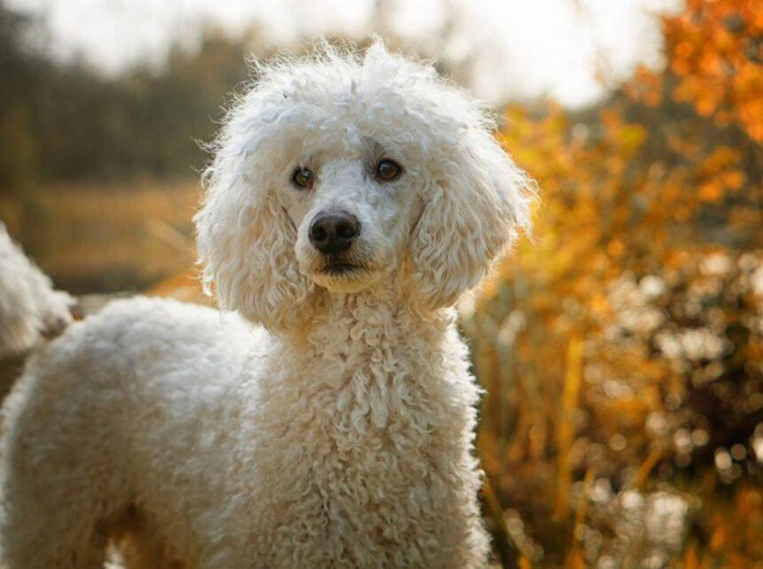 Most Smartest Dog breeds-Poodle Dog Breed (Caniche)