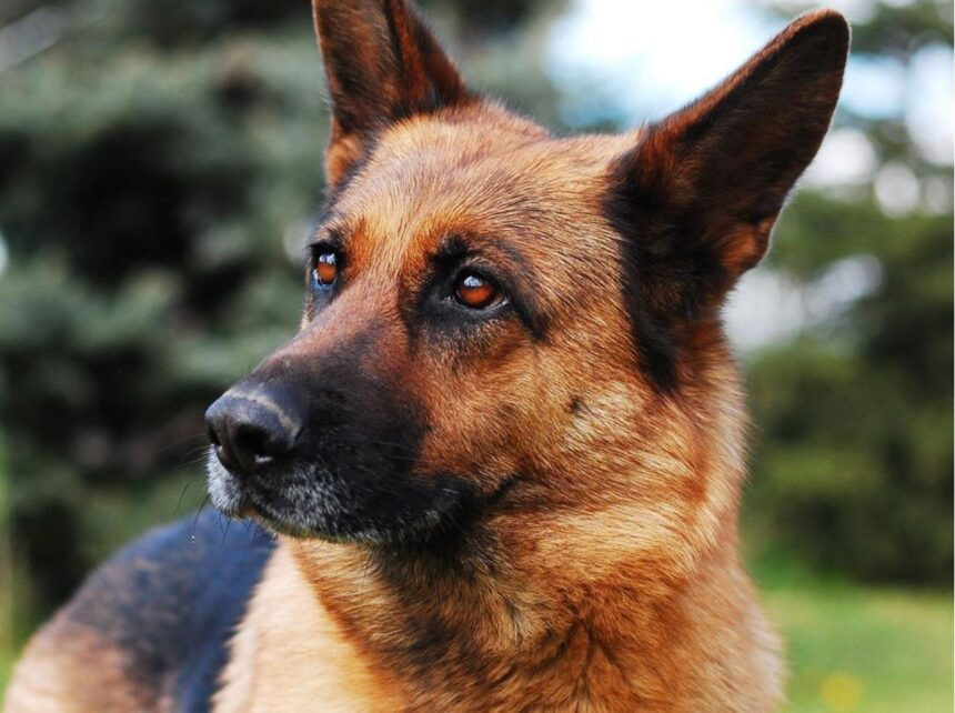 Most Smartest Dog breeds- The German Shepherd