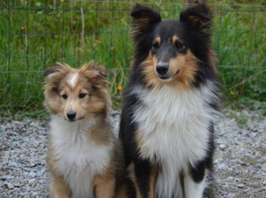 Most Smartest Dog breeds- The Shetland Sheepdog