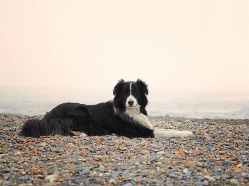 Most Smartest Dog breeds- Border Collie Dog Breed