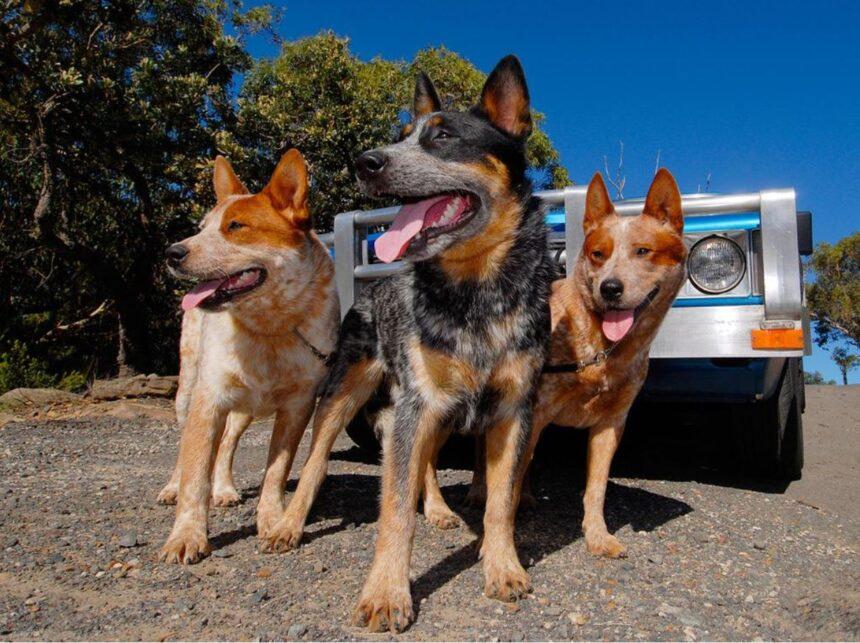 Most Smartest Dog breeds- Australian Shepherd Dog Breed