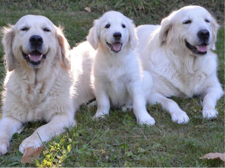 Most Smartest Dog breeds- Golden Retriever Dog Breed