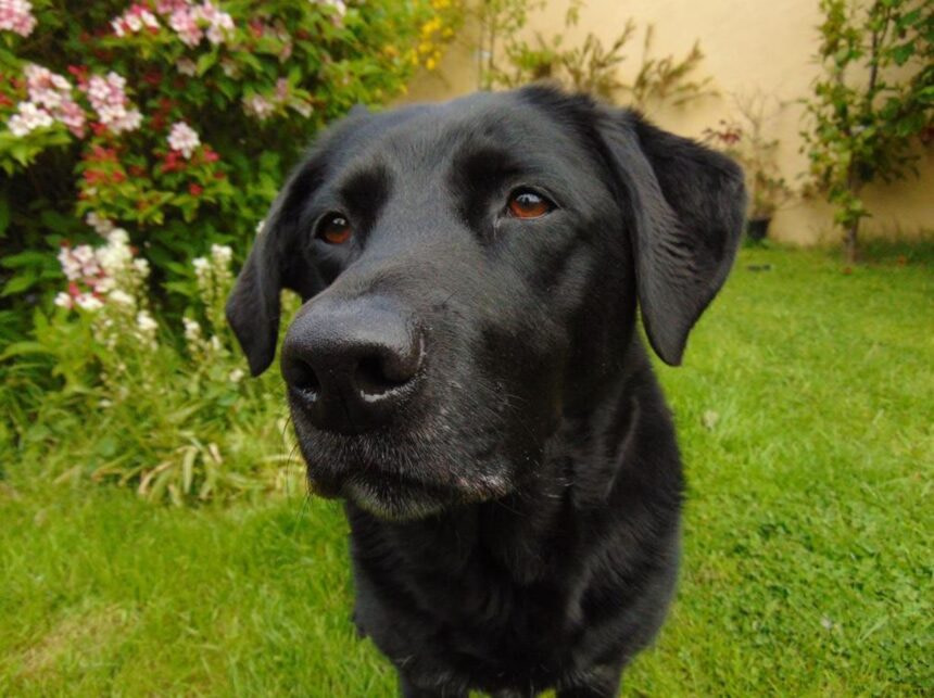 Most Smartest Dog breeds-Labrador Retriever Dog Breed