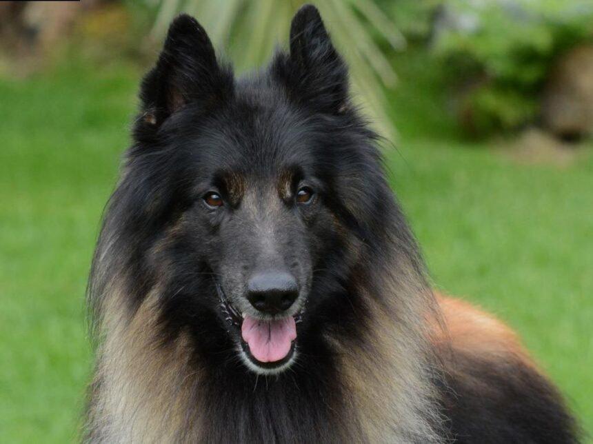 Most Smartest Dog breeds- Belgian shepherd tervueren