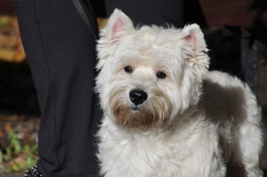 Best Small Dog Breeds-West Highland White Terrier