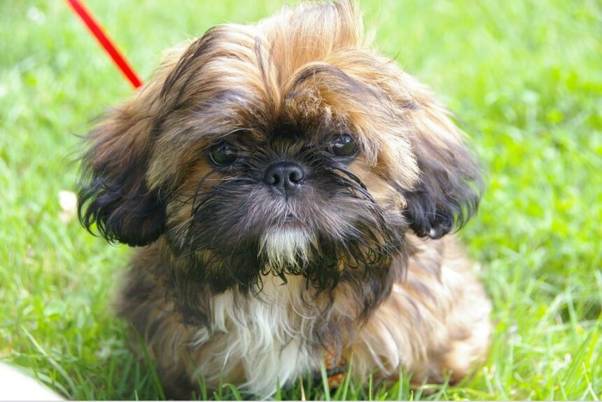 Best Small Dog Breeds-Shih Tzu Dog Breed