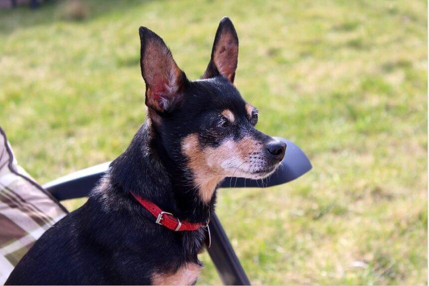 Best Small Dog Breeds-Miniature Pinscher