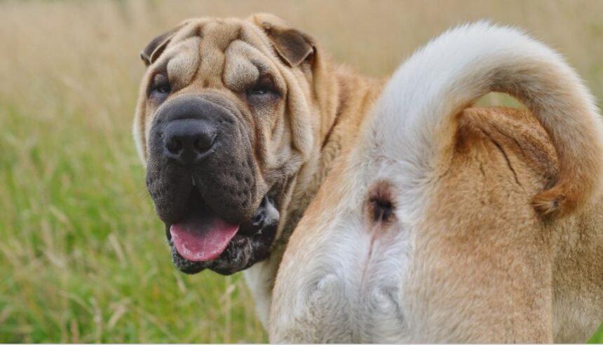 Best Small Dog Breeds-Shar-Pei Dog Breed