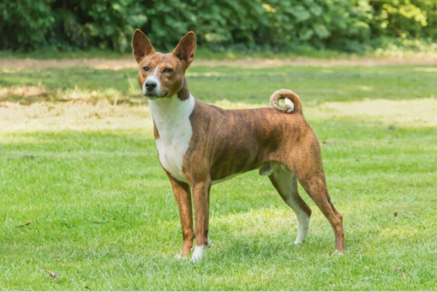 Best Small Dog Breeds-Basenji Dog Breed