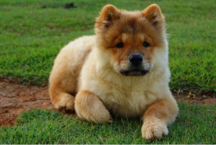 Best Small Dog Breeds-Chow Chow Dog Breed