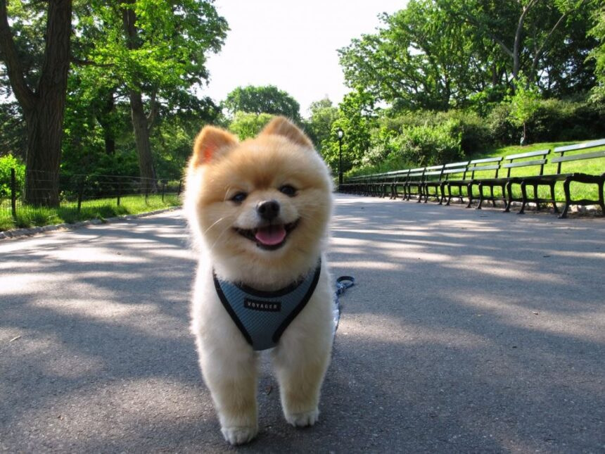 Best Small Dog Breeds-Shiba Inu Dog Breed