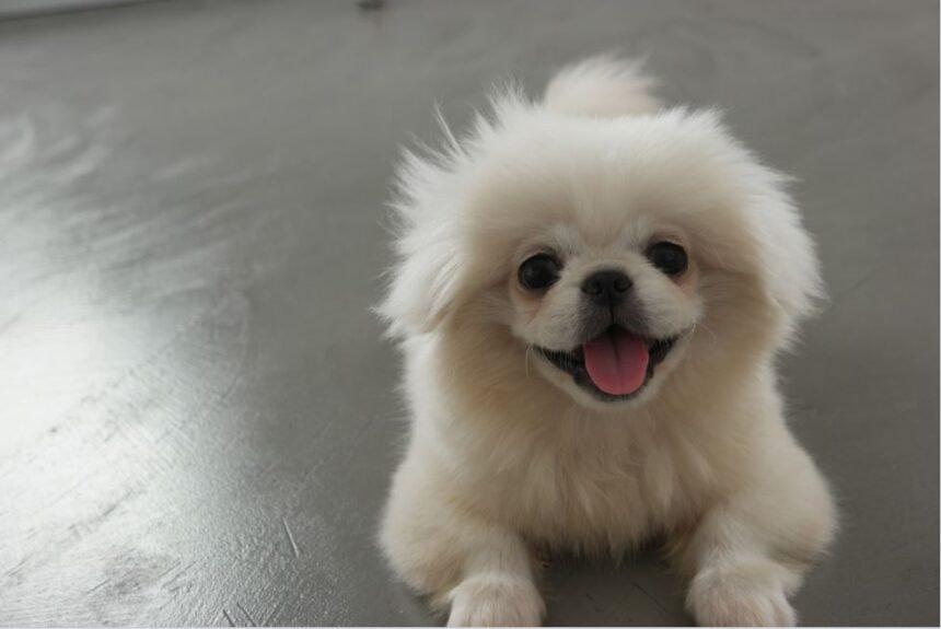 Best Small Dog Breeds-Pekingese Dog Breed